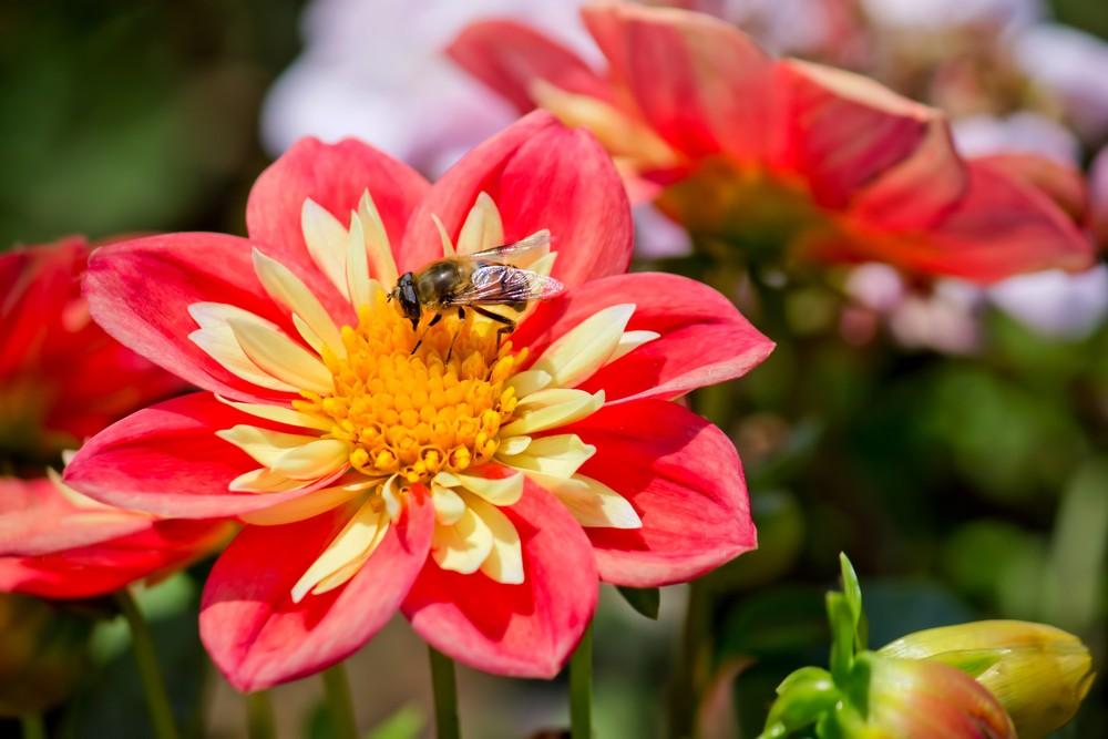 ミツバチの画像