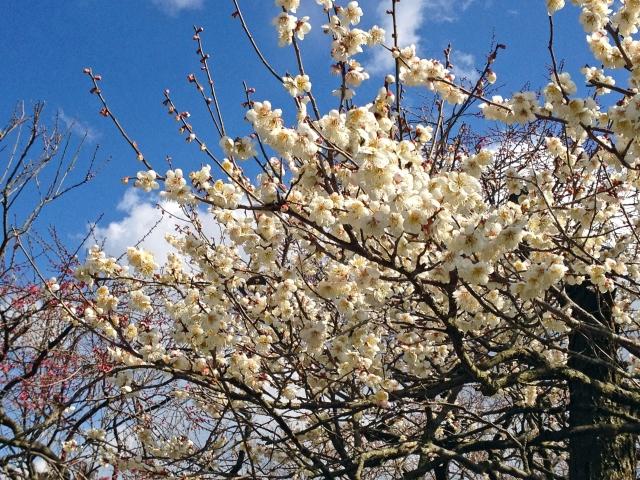 偕楽園の梅の画像