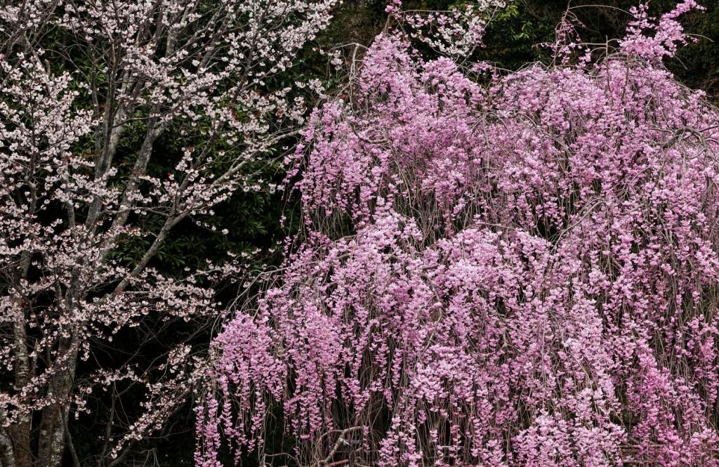 枝垂桜の画像