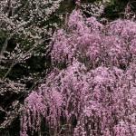 三春の滝桜2016の開花予想と見頃はいつ?ライトアップやお宿情報も