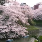 2016千鳥ヶ淵の桜の開花とライトアップはいつ?桜の見えるホテルもある!