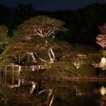 2016六義園の桜の開花予想!ひと足早い桜のライトアップを見に行こう