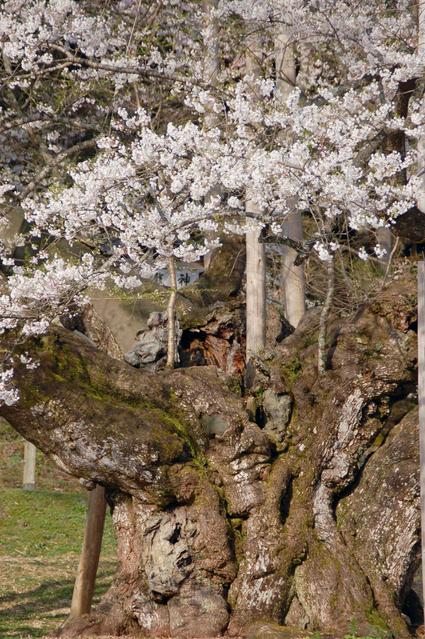 桜の巨木の画像