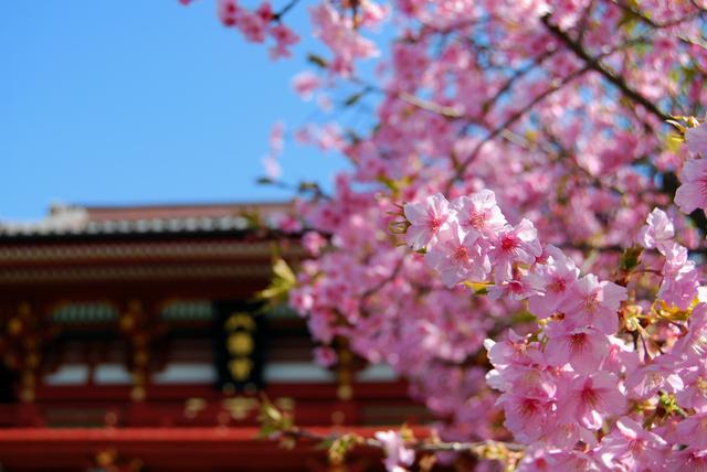 鶴岡八幡宮の桜の画像