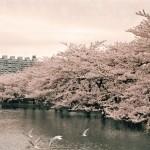 上野公園桜祭り2016!夜桜の時間は?注意すべきマナーとは?