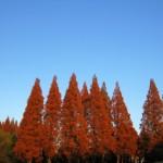メタセコイア並木の紅葉見頃をズバリ予想!紅葉祭りや日帰り温泉で自然を満喫
